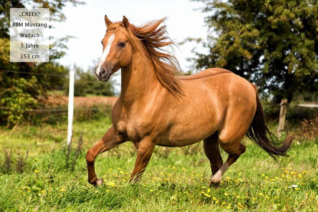 Mustang Pferde Kaufen